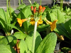Primula Bulleyana (Primrose)
