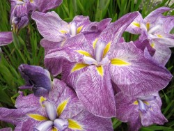 Iris Ensata 'Deep Mist'