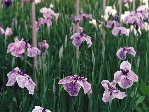 Iris Ensata 'Pure Heart'