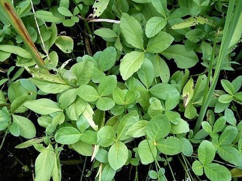 Menyanthes Trifoliata (Trèfle d'eau)