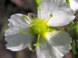 Alisma plantago (Plantain d'eau)