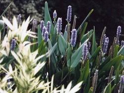 Pontederia Lanceolata (Pickerel Rush)