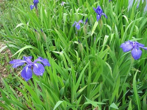 iris d 39 eau du lac de latour marliac iris laevigata plante emmerg e. Black Bedroom Furniture Sets. Home Design Ideas